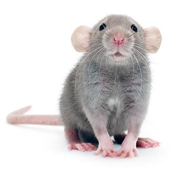 Potkan | Zvěrokruh